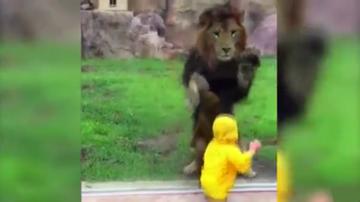 Lew rzucił się na dziecko. Wstrząsające nagranie
